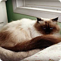 Himalayan Cat for adoption in Beverly Hills, California - Sunny