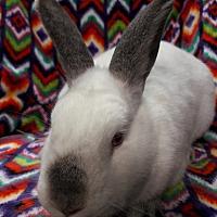 Californian for adoption in Erie, Pennsylvania - Sadie