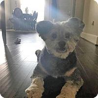 Standard Schnauzer Mix Dog for adoption in Little Rock, Arkansas - Kwolli