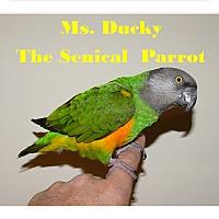 Adopt A Pet :: Miss Ducky The Senegal Parrot - Vancouver, WA