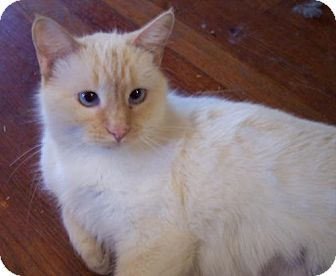 Siamese Cat for adoption in Guthrie, Oklahoma - Champagne