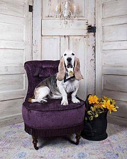 Basset Hound Dog for adoption in Houston, Texas - Oscar
