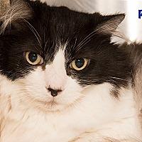 Maine Coon Cat for adoption in San Juan Capistrano, California - Poofy