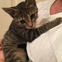 Adopt A Pet :: Thea - Wheaton, IL