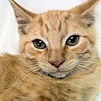 Adopt A Pet :: Tiger - Nashua, NH