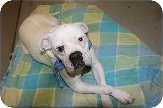 American Bulldog/Boxer Mix Dog for adoption in Saint Charles, Missouri - Emma