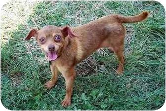 Chihuahua Mix Dog for adoption in Sullivan, Missouri - Josie