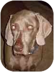 Weimaraner Dog for adoption in Eustis, Florida - Ronin **ADOPTED**