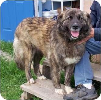 Shepherd (Unknown Type) Mix Dog for adoption in Sullivan, Missouri - Boots