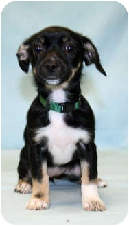 Papillon/Chihuahua Mix Dog for adoption in Westminster, Colorado - Seahawk