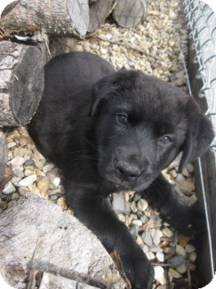Shepherd (Unknown Type)/Labrador Retriever Mix Puppy for adoption in Spruce Grove, Alberta - Denali