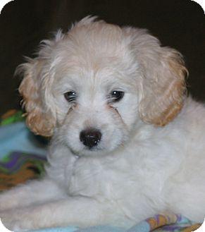 Labradoodle Mix Puppy for adoption in Santa Ana, California - Dandy