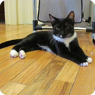 Domestic Shorthair Kitten for adoption in Pittstown, New Jersey - Rambo