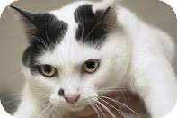 Domestic Mediumhair Cat for adoption in Canoga Park, California - Smudge