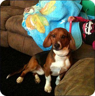 Australian Shepherd/Basset Hound Mix Dog for adoption in Colville, Washington - Eli