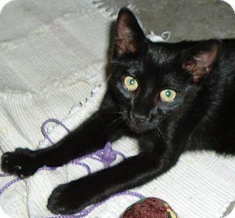 Domestic Shorthair Kitten for adoption in Morehead City, North Carolina - Ernie