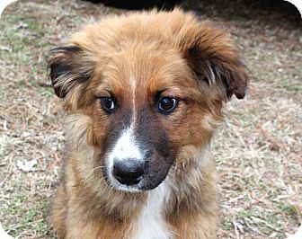 Australian Shepherd/Border Collie Mix Puppy for adoption in Salem, New Hampshire - CLYDE