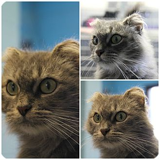 Domestic Mediumhair Cat for adoption in Forked River, New Jersey - Lulu