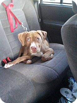 American Pit Bull Terrier/Pit Bull Terrier Mix Puppy for adoption in Hillsborough, New Jersey - Dharma