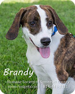 Beagle Mix Dog for adoption in Somerset, Pennsylvania - Brandy