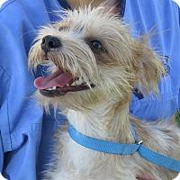Adopt A Pet :: Pixie - Scottsdale, AZ