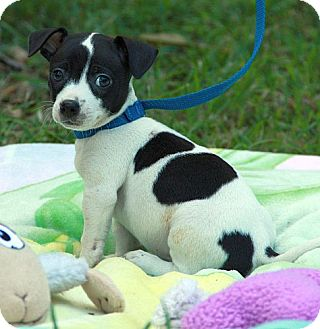 Jack Russell Terrier Mix Puppy for adoption in Rochester, New York - Curly
