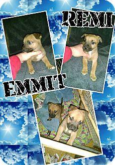 Shepherd (Unknown Type) Mix Puppy for adoption in Gainesville, Georgia - emmit