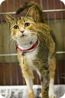Domestic Shorthair Cat for adoption in Port Washington, New York - Lailah