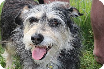 Terrier (Unknown Type, Small)/Schnauzer (Miniature) Mix Dog for adoption in Kempner, Texas - Minnie