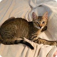 Adopt A Pet :: Mork - The Colony, TX