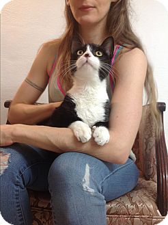 American Shorthair Cat for adoption in Brooklyn, New York - Talber