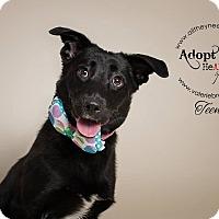 Adopt A Pet :: Teena - Medford, NJ