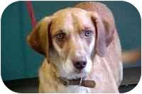 Hound (Unknown Type)/Labrador Retriever Mix Dog for adoption in Ephrata, Pennsylvania - Jester