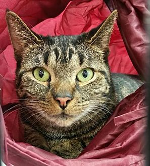 Domestic Shorthair Cat for adoption in Charlotte, Michigan - Minka