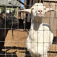Goat for adoption in cumming, Georgia - Savanna