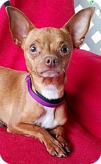 Chihuahua Mix Dog for adoption in San Antonio, Texas - Opera