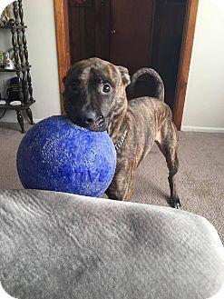 Boxer/Plott Hound Mix Dog for adoption in Sharon Center, Ohio - Mosbie