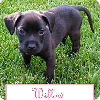 Adopt A Pet :: Willow - Lexington, KY