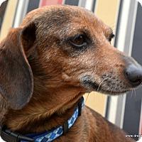 Adopt A Pet :: Wiggles, 8 yrs, 14 pds, $250 - Spokane, WA