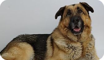 German Shepherd Dog Mix Dog for adoption in Reno, Nevada - XL