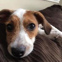 Adopt A Pet :: Albie - Santa Fe, TX