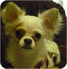 Chihuahua/Maltese Mix Puppy for adoption in San Clemente, California - LOUISA