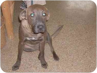 Labrador Retriever Mix Dog for adoption in Liberty, South Carolina - DUDE