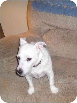 Jack Russell Terrier Dog for adoption in Thomasville, North Carolina - Rimshot