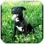 Photo 1 - American Pit Bull Terrier Mix Dog for adoption in Lawton, Oklahoma - BOLERO