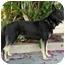 Photo 4 - German Shepherd Dog Dog for adoption in Los Angeles, California - Flint von Fowler