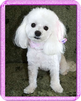 Maltese/Poodle (Toy or Tea Cup) Mix Dog for adoption in North Palm Beach, Florida - Deliliah
