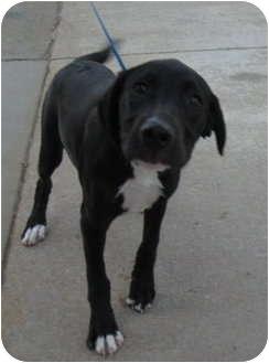 Labrador Retriever/Hound (Unknown Type) Mix Puppy for adoption in Stillwater, Oklahoma - Rodney