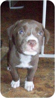 American Bulldog/Boxer Mix Puppy for adoption in Copperas Cove, Texas - Sam