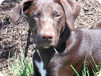 Labrador Retriever/Pointer Mix Puppy for adoption in Lewisville, Indiana - Myles